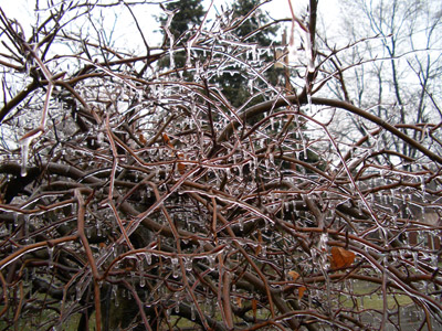 Weeping Beech covered with ice
