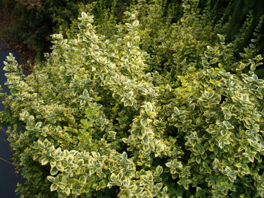 Euonymus fortunei 'Emerald 'n Gold' - 'Emerald 'n Gold' EuonymusModerate to fast growth to 3 ft tall x 5 ft wide. Great for a splash of color with its green and gold variegated leaves. Watch for scale insects.