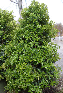 Ilex hybrida 'Oak Leaf' - Oak Leaf™ HollyUpright growing, columnar Holly that widens some with age. Growth to 18 foot height and 8 foot width. Hardiness zones 6 - 9. Grow in full to partial sun.