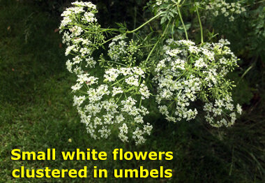 Some people confuse the flowers with another weed, Queen Anne's Lace.