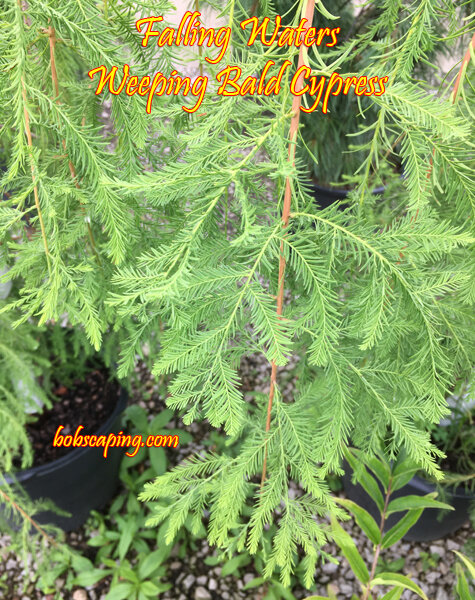 Taxodium distichum - Falling Waters Weeping Bald CypressFinely textured, weeping deciduous conifer. Bright green foliage on gracefully arching branches turns to hues of orange and bronze before dropping in Autumn. Full sun. Growth to 20 feet tall x 10 feet wide. Hardiness to Zone 5.