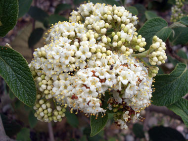 Viburnum x rhytidophylloides 'Alleghany' - Alleghany Lantanaphyllum ViburnumModerate growth rate to 12 ft x 12 ft with semi-evergreen, dark-green leaves and yellowish-white flowers in May. Red fruit ripens to black.