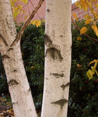 Betula pendula - European White BirchAn all-time favorite for its bright white bark. Unfortunately, this birch is troubled by a host of enemies, its nemesis being the deadly birch borer. Pay close attention to preventative maintenance if you cultivate this variety of birch in your landscape. Wet snow and ice storms will bend these trees to the ground.Moderate to fast growth to 50 ft.