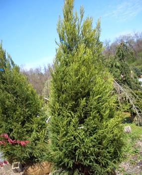 Cryptomeria japonica 'Yoshino' - Yashino Japanese CedarPyramidal growth with loose, open evergreen foliage. Light green fragrant needles. Growth to 40 ft tall x 20 ft wide.
