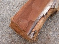 """Black Walnut - Deeply furrowed bark. Tree drops green husked walnuts in the Fall. Wood has a dark brown coloration favored for woodworking. It's difficult to grow most garden plants around Black Walnut trees due to their secretion of """"juglone"""" from most tree parts."""