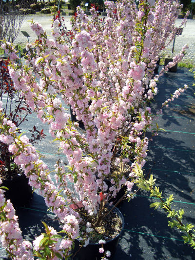 Prunus glandulosa 'Rosea' - Pink Flowering AlmondDeciduous shrub that produces spectacular double pink flowers in late spring. Prune right after flowering every year to maintain its shape, and remove any root suckers. Grow in full sun to partial shade. Grows to 5 feet tall x 4 feet wide. Zone 4 to 8.