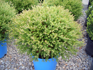 Thuja occidentalis 'Bobozam' - 'Mr. Bowling Ball'Compact globe-shaped growth that doesn't require any trimming and is good for smaller gardens. Feathery fine evergreen foliage