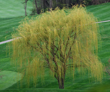 Salix sepulcralis - Weeping WillowWeeping willows add great interest to a landscape with wet soil conditions, but are banned from planting in some townships due to their invasive root systems, especially into older terra cotta sewer lines. Weeping willows should be planted where they have plenty of room to grow.