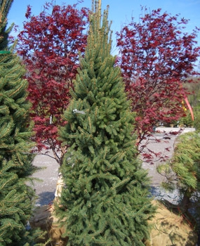 Picea abies 'Cupressina' - Columnar Norway SpruceFast growing, slender evergreen to 30 ft tall x 10 ft wide. Can be planted as a specimen or used in hedges and windbreaks. Hardy in Zones 2 - 7. Grows best in full sun.
