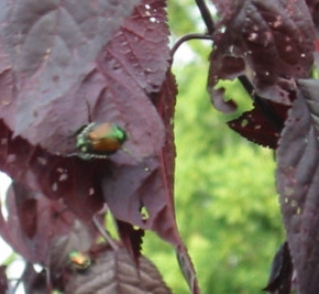 """JAPANESE BEETLES  The adults usually appear around the 4th of July and """"skeletonize"""" the leaves of plants. Purple plums (photo) are one of their favorites. The larval stage is known for the damage it causes to lawns by eating the roots off grass, causing large brown areas of turf, mostly in the fall and spring (see 'Grub' photos above). Chemical lawn treatments are timed for late-summer to early-fall when the grub is youngest and most vulnerable. Biological control: Milky Spore is effective again st Japanese Beetle grubs."""