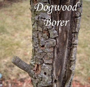 """DOGWOOD BORER    Dogwood borer is the most significant pest of Flowering Dogwood (Cornus florida). Dogwoods planted in full sun are much more likely to be attacked by dogwood borer than those planted in partial shade, due to the tree's increased stress level. Avoid damaging trunks with weed whackers and lawnmowers. Adults emerge in late May. Notice the """"drilled holes"""" in the photo."""