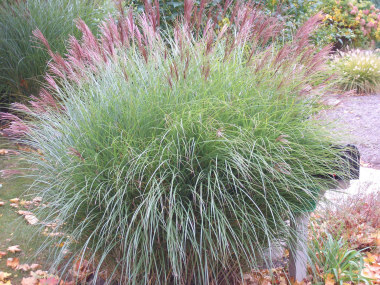 MISCANTHUS sinensis 'Gracillimus' Maiden Grass - Best grown in full sun. Narrow green leaves with white midrib. Plumes in the Fall. Height 6 to 7 feet.