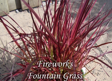 PENNISETUM setaceum 'Fireworks' Fireworks Fountain Grass - Striking white, green, pink and burgundy variegated foliage with purple plumes in summer. Grow in full to partial sun, growth to 3 feet tall and 2 feet wide, hardiness zones 9 to 11.