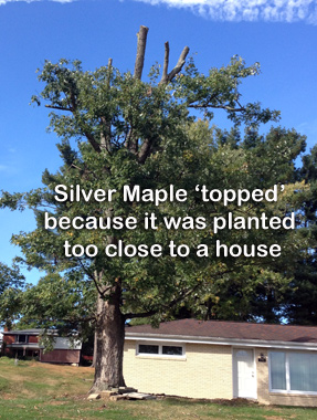 Silver maple topped because it was planted too close to house