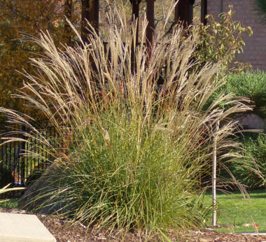MISCANTHUS transmorrisonensi Taiwanese miscanthus - Plant in full sun. Height 3 to 4 feet. Plumes appear mid-summer and grow high above the foliage.