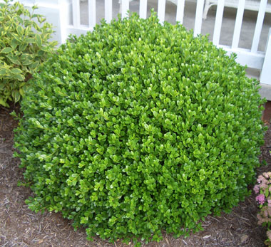 Buxus microphylla koreana 'Winter Gem' - Winter Gem Korean BoxwoodVery hardy boxwood with glossy evergreen foliage. Plants take well to shearing and make excellent hedges or individual plants. Growth to 4 ft x 4 ft.
