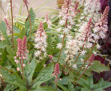 TIARELLA 'Pink Skyrocket' Foamflower - Plant in full shade.