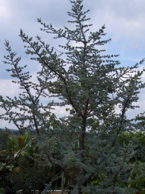 Cedrus atlantica 'Glauca' - Blue Atlas CedarGrow in full sun to partial shade. Fast growth to 60 ft tall x 40 ft wide. Unique tufts of silver-blue needles on spiked branches. Only cold hardy to Zone 6.