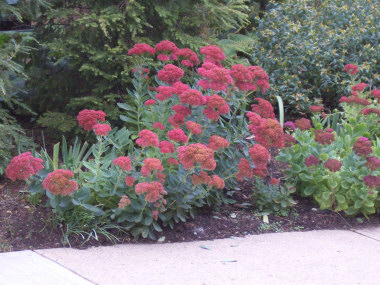 SEDUM Stonecrop - The most commonly available variety is 'Autumn Joy.' Flowers late summer into fall. Upright forms of Sedum have been reclassed to the genus HYLOTELEPHIUM.