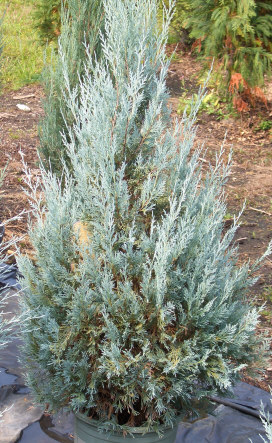 Juniperus scopulorum 'Wichita Blue' - Wichita Blue JuniperUpright evergreen known for its bright blue foliage. Grow in full sun. Fast growth to 16 ft tall x 8 ft wide.