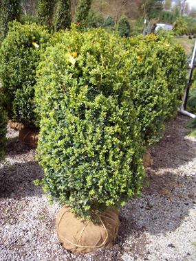 Buxus microphylla koreana 'Julia Jane' - Julia Jane BoxwoodDark green foliage with lime green new growth. Growth to 5 ft. tall x 5 ft. wide.