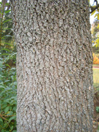 Ash (White) - Ash is grayish brown to a pale yellow, streaked with brown. The wood is straight grained with a coarse uniform texture. Ash is light in weight; and is used in making baseball bats. Referred to as the 'Firewood of Kings' since it splits easily and burns well, even when freshly cut.