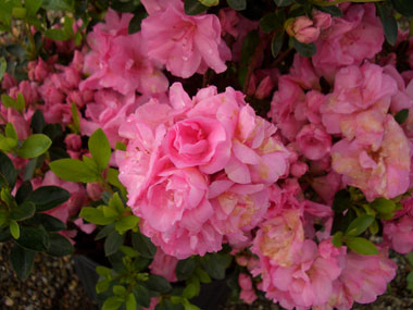 AZALEA 'Rosebud' - Rosebud AzaleaThis Gable hybrid is a DLS favorite, due to its double pink flowers that resemble rose buds. Blooms mid-season. Slow growth to 3 ft x 3 ft.
