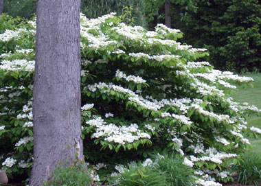 Viburnum plicatum - Doublefile ViburnumHorizontally branched shrub with white flowers lining the branches in spring. Reddish-purple leaves in fall. Deer resistant. Rivals flowering dogwood trees in Spring!
