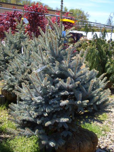 Picea pungens glauca - Colorado Blue SpruceFrom the standard Colorado Blue Spruce variety, to the true blue 'Hoopsii' and semi-dwarf 'Fat Albert' cultivars, this species is hard to beat for its hardiness and steel blue foliage year round. Deer don't like it! Moderate rate of growth. 'Fat Albert' (photo) cultivar grows to 15 ft tall with the standard Colorado Blue to over 60 ft tall. Light shearing will help create a denser 'Christmas tree shape' and control size.