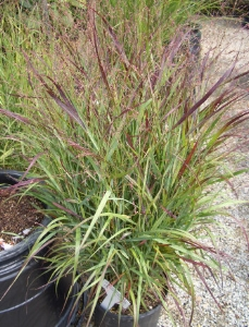 PANICUM virgatum 'Shenandoah' Switch Grass - Sun to partial shade. Open reddish purple panicles appear late summer into fall. There are several cultivars or varieties. Height 4 to 6 feet.