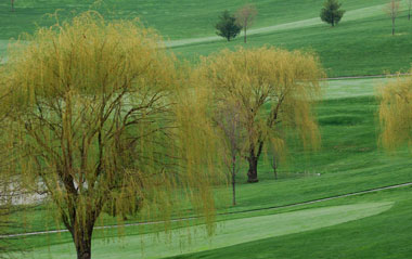 Weeping Willows along the fairway of a golf course