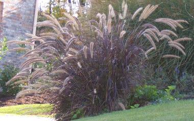 PENNISETUM setaceum Purple Fountain Grass - Not winter hardy in the Northeastern and Midwest US. Prefers full sun. Striking purple leaves. Purplish-pink plumes appear from mid-summer until frost. Height 3 to 4 feet.