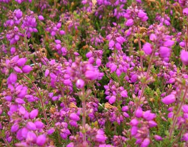 ERICA cinerea 'Atropurpurea'Purple Bell Heath - Deep violet, bell-like flower clusters on a small hardy shrub. Mixed plantings with other heathers will create an attractive multi-hued groundcover.