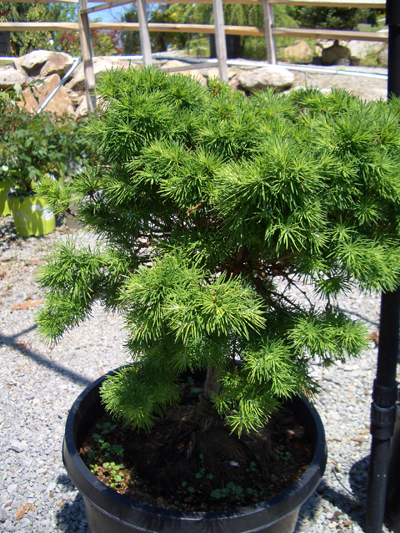 Larix gmelinii 'Romberg Park' - Romberg Park Dahurian LarchDwarf, deciduous conifer. The soft, light green needles turn yellow in fall before dropping to reveal interesting short stems. Prefers full sun in well-drained soil. Grows to 6 feet tall x 6 feet wide. Zone 2.