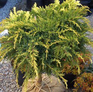 Juniperus 'Daub's Frosted' - Daub's Frosted JuniperGold-tipped Juniper on a Standard.