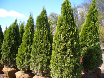 Thuja occidentalis 'Emerald' - Emerald Green ArborvitaeFast growth to 15 ft tall x 4 ft wide in full sun. Emerald-green foliage holds its color well through winter. Makes a good privacy hedge around swimming pools or along property lines, or can be used in foundation plantings. Maintains a nice shape without pruning.
