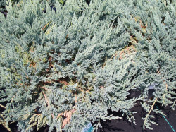 blue-chip-juniper.jpg