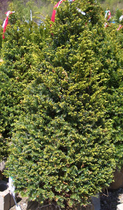 Taxus cuspidata 'Capitata' - Pyramidal Japanese YewPyramidal evergreen with slow growth to 40 ft tall x 50 ft wide. Tolerates heavy shearing.