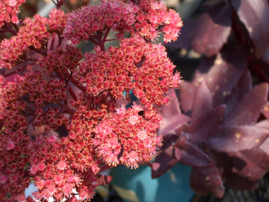 SEDUM 'Purple Emperor' Stonecrop or Orpin - Grow in full sun to partial shade. Popular plant with purple foliage for use in rock gardens and flower beds. Flowers late summer into fall.