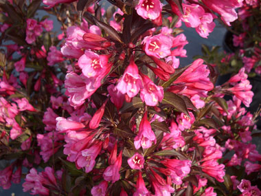 Weigela florida 'Alexandra' - Wine and Roses® WeigelaOutstanding plant with massive quantities of rose-pink flowers contrasted against rich burgundy foliage, making this a DLS favorite. Moderate growth rate to 5 ft x 5 ft. Deer resistant.