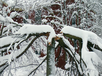 Worst case scenario for an ornamental Pear with all its major branches broken.