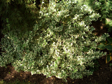 Euonymus fortunei 'Emerald Gaiety' - 'Emerald Gaiety' EuonymusVine-like moderate to fast growth to 3 ft tall x 5 ft wide. Great for a color contrast with its green and white variegated leaves. Watch for scale insects.
