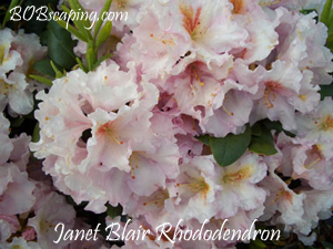 janet blair rhododendron