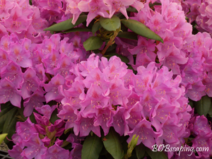 purple-pink rhododendron