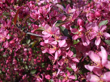 Breathtaking pink blossoms on a Crabapple tree!