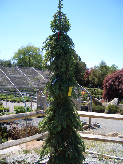 Picea glauca 'Pendula' - Weeping White SpruceNarrow, upright growth with weeping branches and grayish-green foliage. Prefers full sun.MORE WEEPING TREE PHOTOS