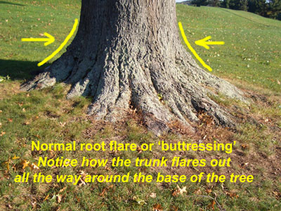 Root flare at the base of a tree