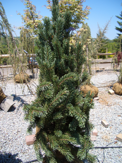 Pinus longaeva 'Blue Heron' - Blue Heron PineNarrow growth habit becoming pyramidal with age. Long-lived cultivar of the Great Basin Bristlecone Pine. Grow in full sun. Grows to 15 feet tall x 12 feet wide. Zone 4.
