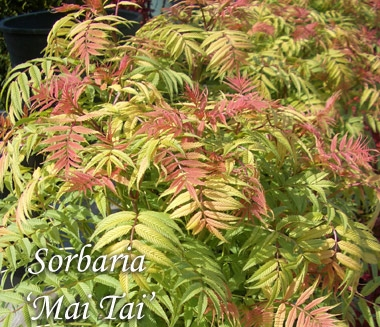 Sorboria sorbifolia 'Mai Tai' - Mai Tai Ural False SpireaGrow in full sun. Hardiness zones 4 to 9. Orange colored new growth contrasts with green foliage as it matures, white plumes emerge in early summer. Growth to 6 ft tall x 6 ft wide.