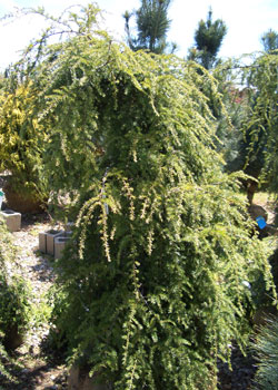 Tsuga canadensis pendula - Weeping Canadian HemlockExcellent specimen plant with wide spreading, weeping branches. Slow to moderate growth to 20 ft tall x 35 ft wide. Prefers acid soil that is moist, yet well-drained.